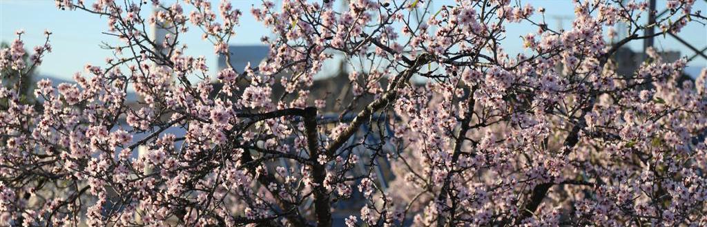 Los almendros indican que ya está cerca la primavera